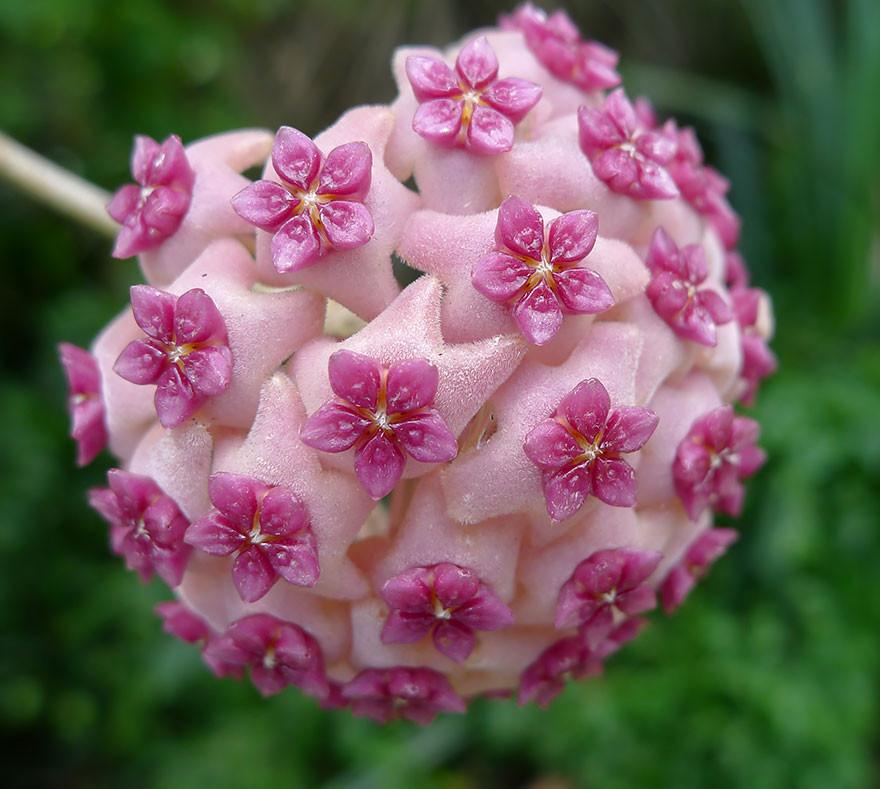 Фото 24: Плющ хойя розовый