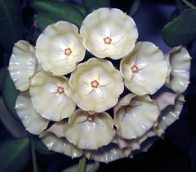 Хойя чудесное растение