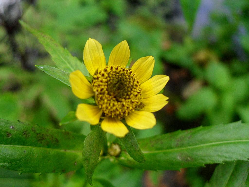 Цветок лекарственной череды