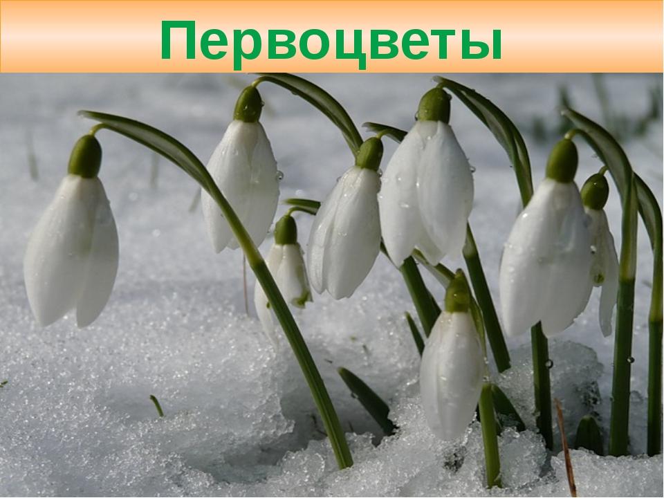 Фото 17: Первоцветы подснежники на фото