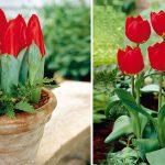Сорт тюльпанов Красное Возрождение
