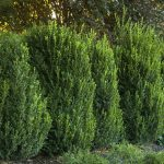 Фото 60: Buxus sempervivum