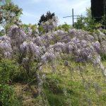 Фото 80: Кустарниковая глициния в саду