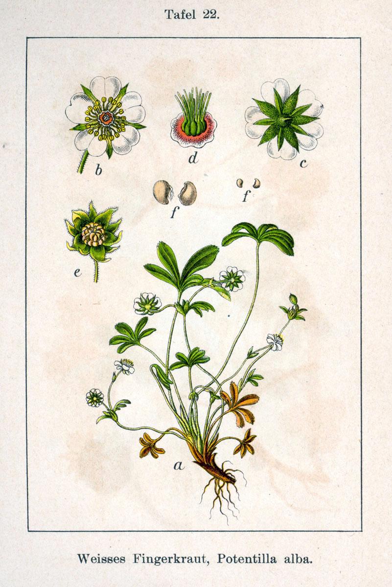 Строение цветка белой лапчатки