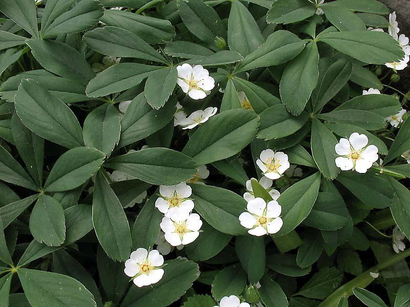 lapchatka belaja (9)
