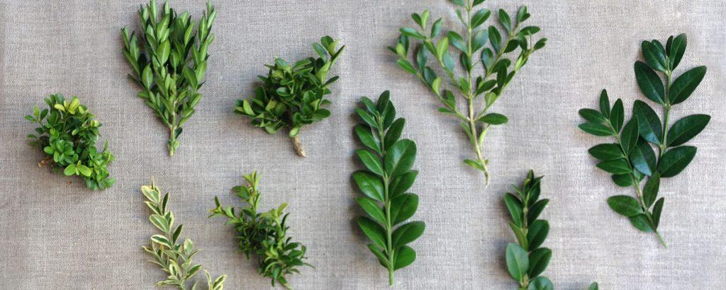 Разнообразие листьев самшита по сортам