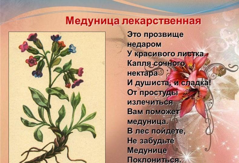 medunica lekarstvennaja (30409222)