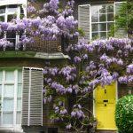 Фото 59: Оформление дома и балкона Вистерией блю мун