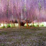 Фото 128: Осыпание цветов вистерии