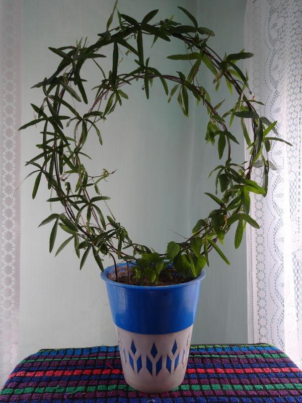 Фото 19: Пассифлора растет в горшке