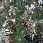 Фото 98: Поражение самшита паутинным клещом