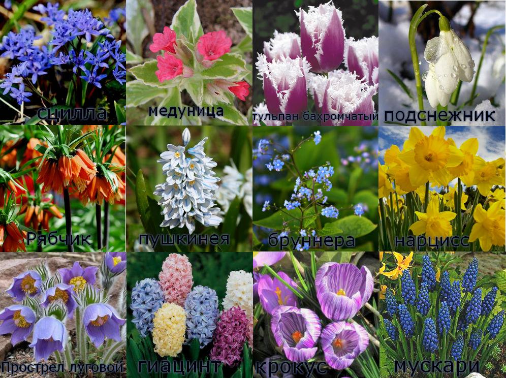Очень красивые первоцветы - фотоколлаж