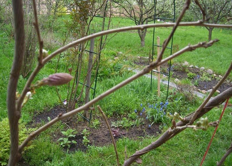 Выращивание вистерии на открытом грунте