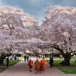 Фото 56: Поклонение дереву вишни