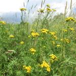 Фото 16: Пижма - полевой цветок