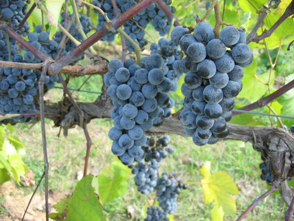 Фото 22: Среднеспелый сорт винограда