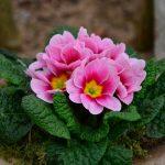 Фото 139: Примула фото цветов