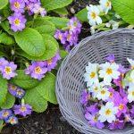 Фото 146: Мбор цветов примулы