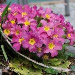 Фото 148: Цветок примула фото уход многолетняя