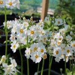 Фото 33: Primula japonica alba