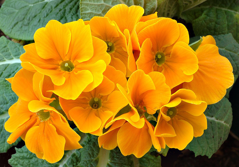 Фото 16: Примулы оранжевого оттенка