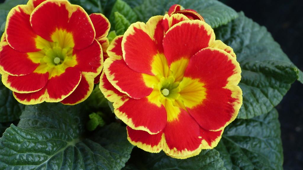 Красивый цветок примулы