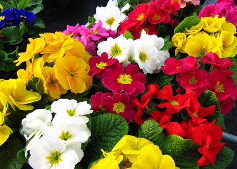 Фото 27: Многообразие цветов примул