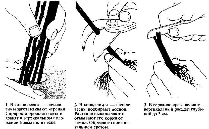 Схема размножения глицинии черенками