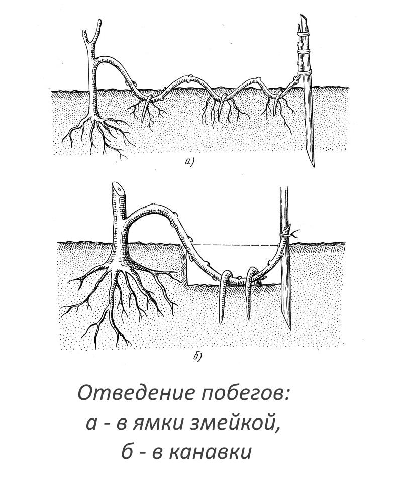 Размножение глицинии отводками