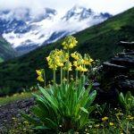 Фото 94: Рrimula sikkimensis