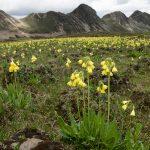 Фото 92: Рrimula sikkimensis в горах