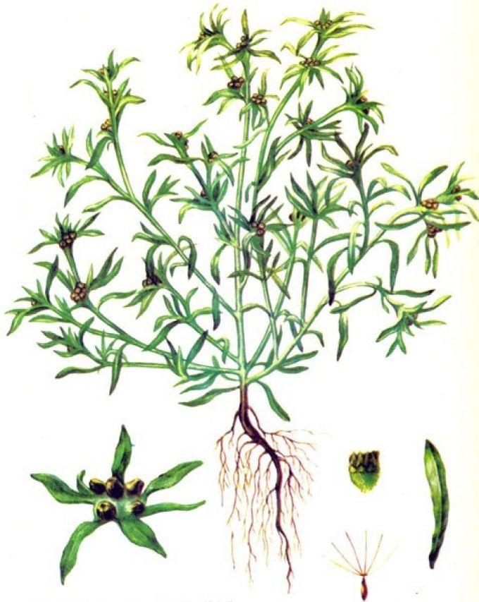 Строение растения сущеницы