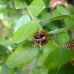 Фото 94: Созревания семян самшита