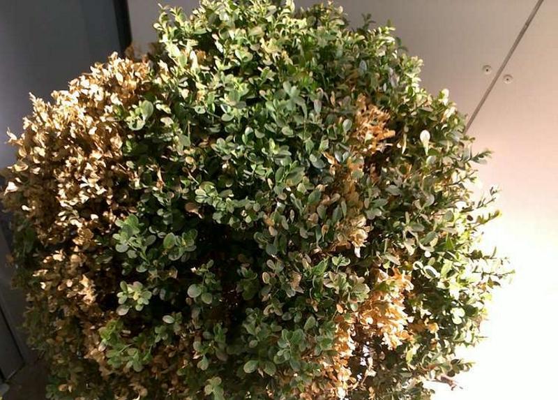 Поврежденные листья самшита