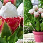 Сорт тюльпанов Мороженное