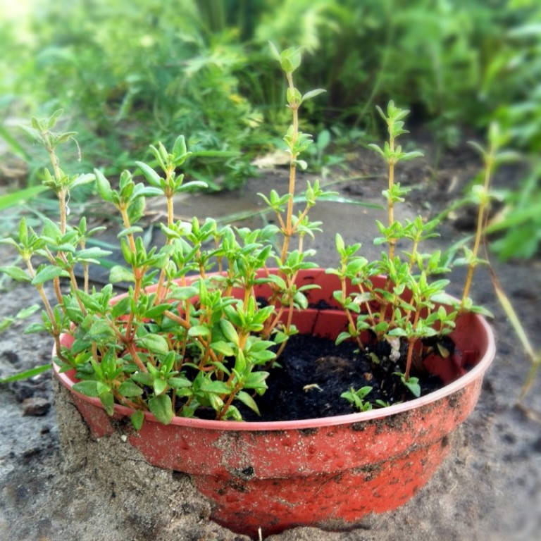 Чабрец выращивание из семян и 34