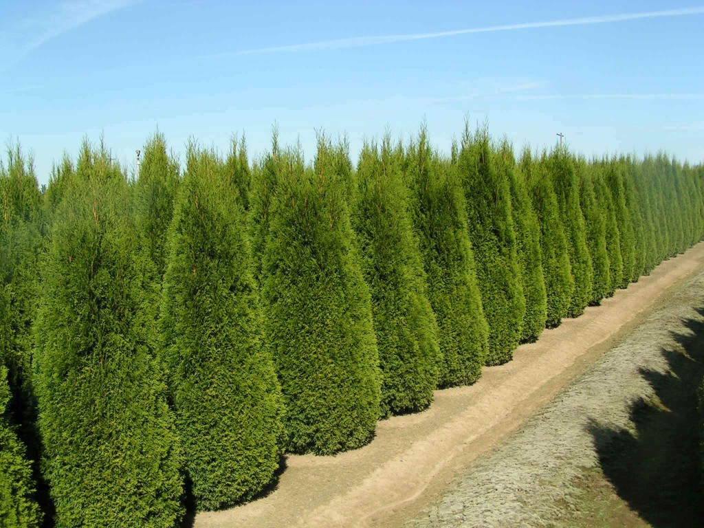 Ухоженные деревья туи
