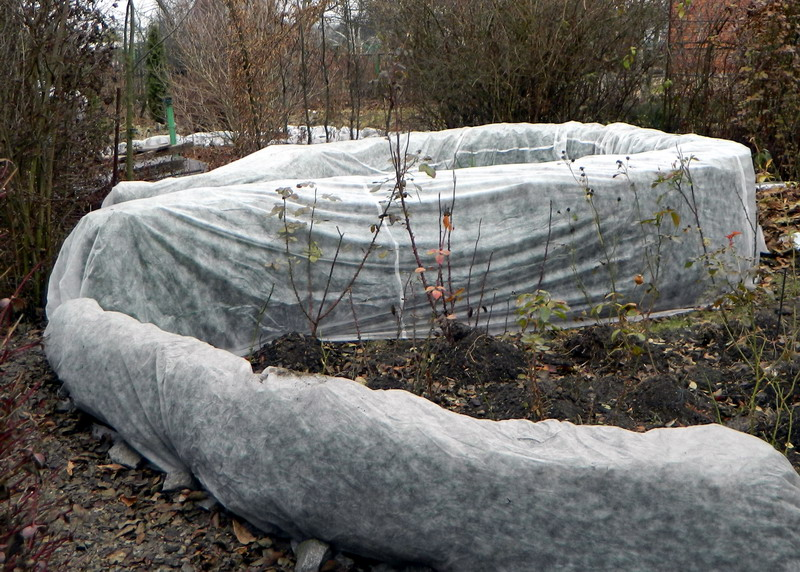 Укрывание самшита на зиму