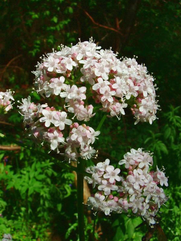 valeriana lechebny (2)
