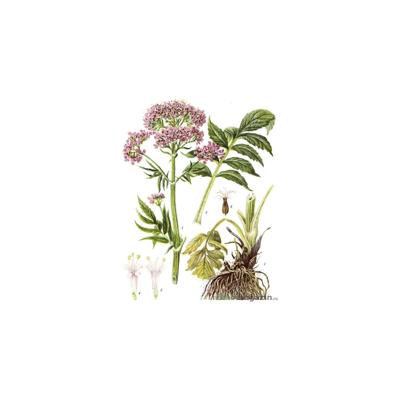 valeriana lechebny (8)