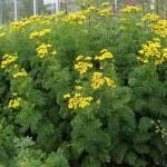 Фото 31: Выращивание пижмы огороде