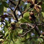 Фото 90: созревание плодов грецкого ореха