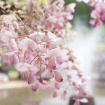 Фото 143: Розовые цветы вистерии