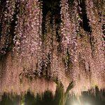 Фото 144: Розовая японская вистерия