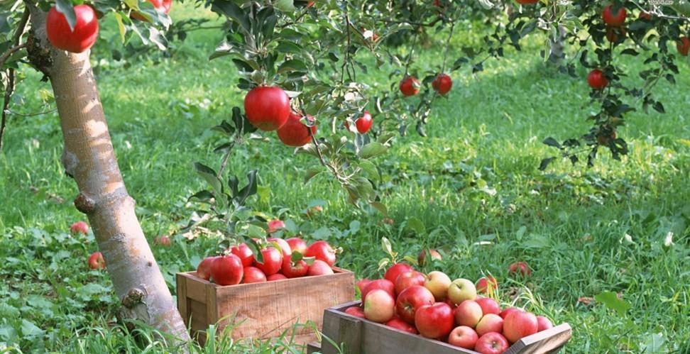 Ящик яблок медуница