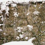 Фото 147: Вистерия зимой
