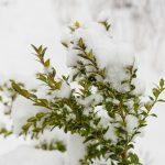 Фото 84: Самшит зимой под снегом
