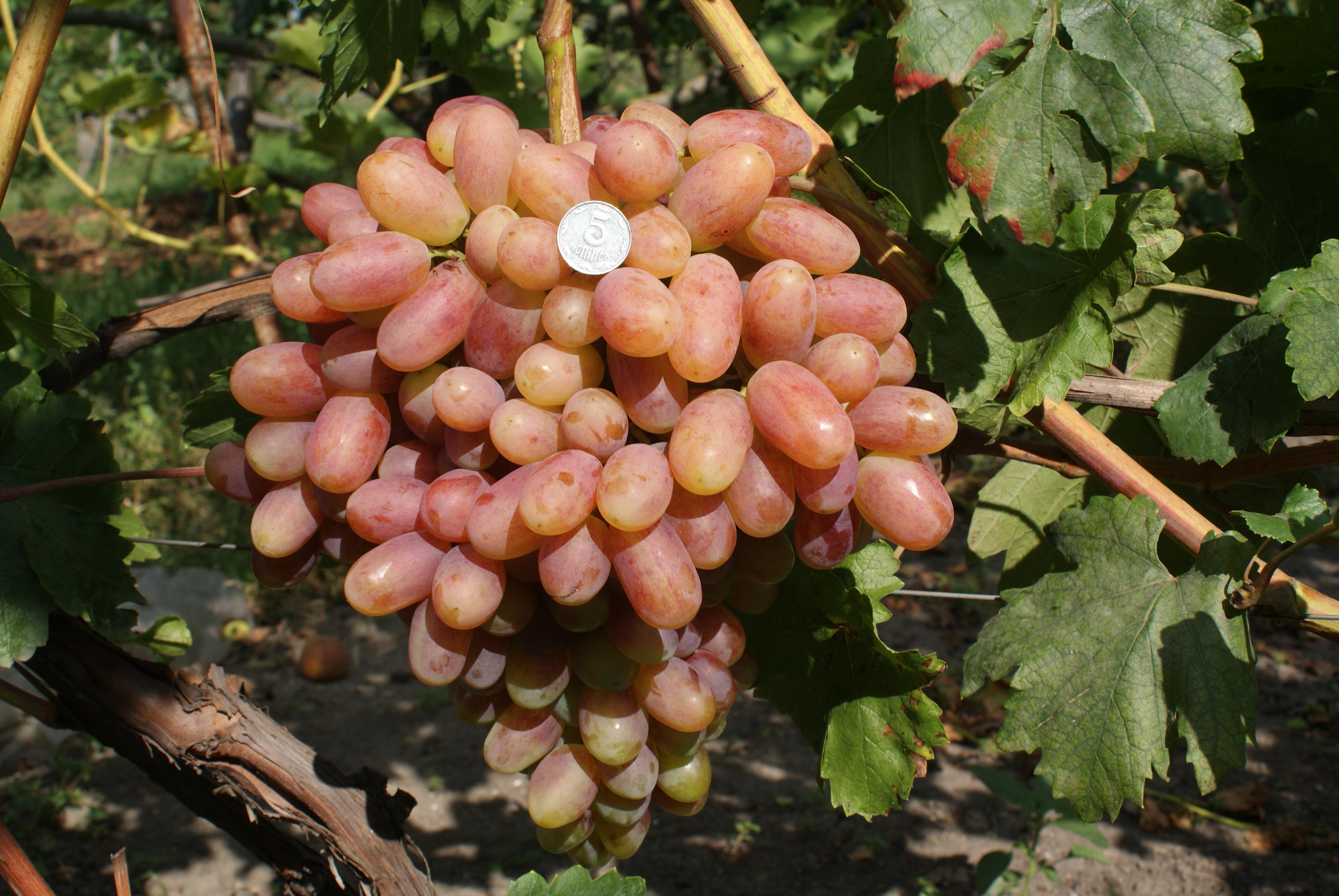 Виноград преображение  описание