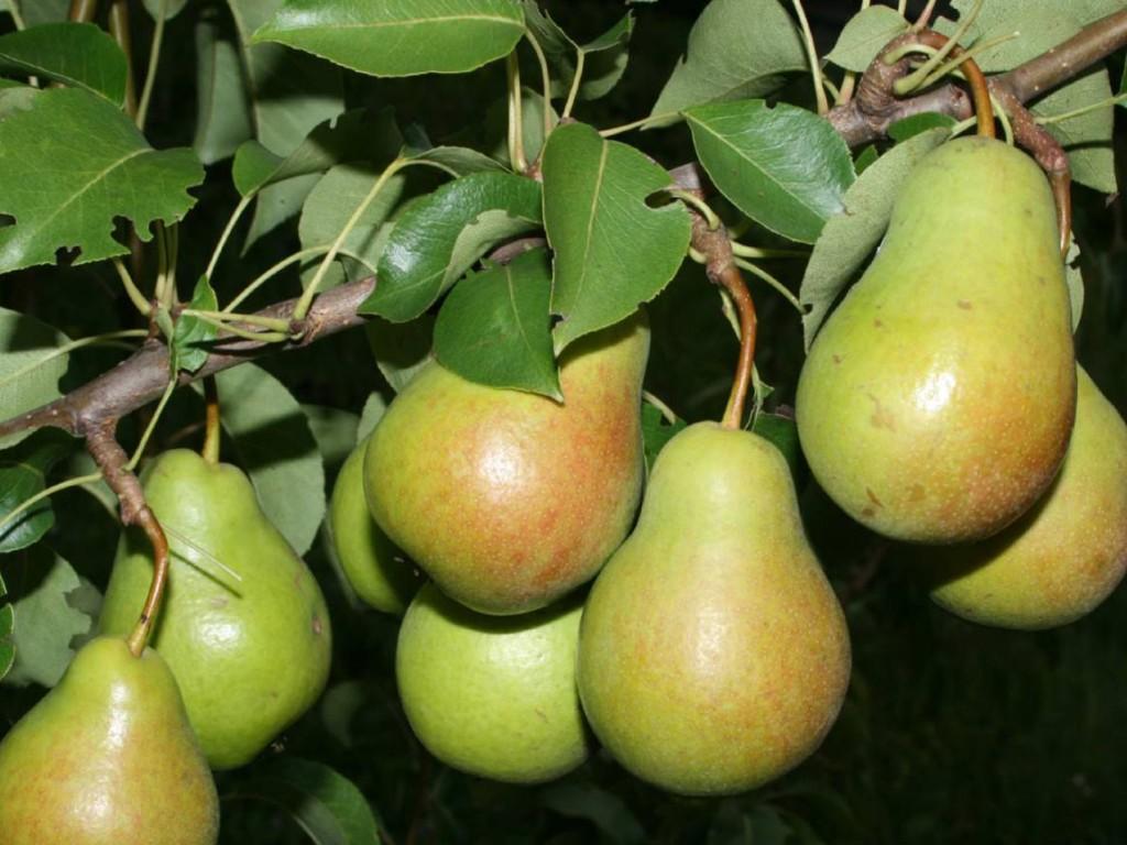 Вкусная груша чижовская