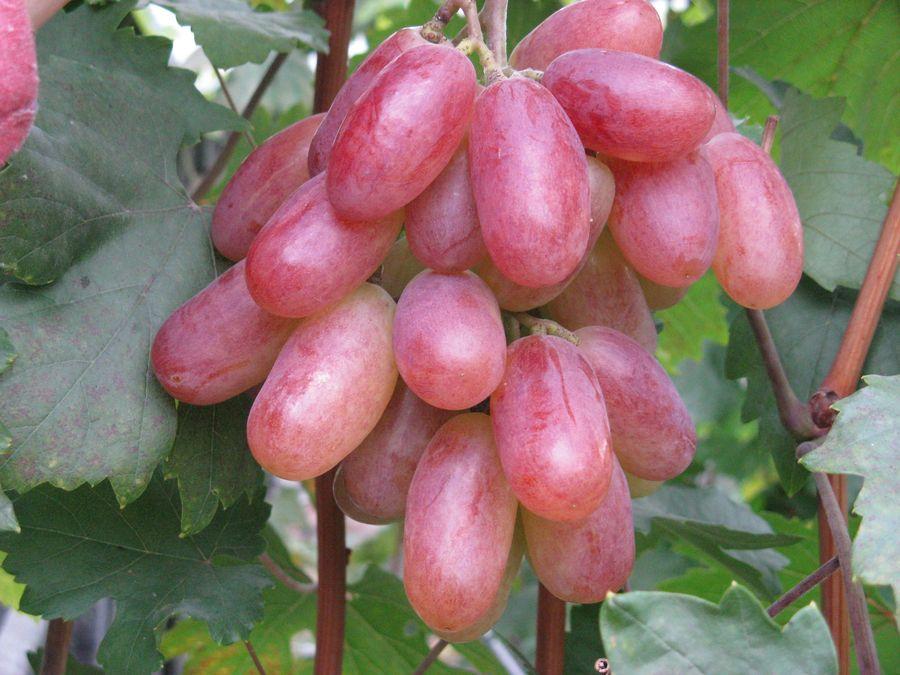 Вкусный виноград Преображение